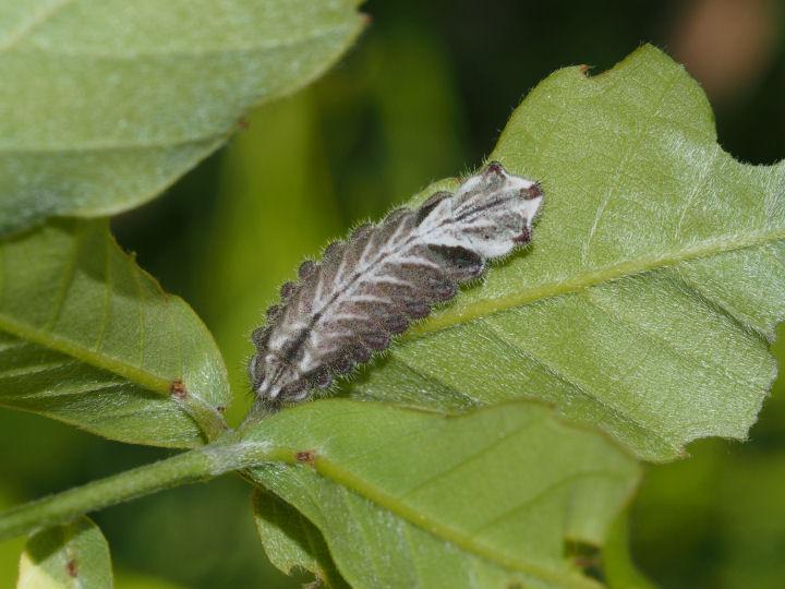 オオミドリシジミ幼虫18mm-OMD53573