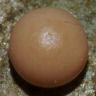 96-イボタガ卵-OMD53449