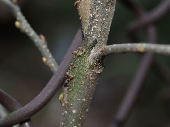 アカボシゴマダラ幼虫18mm-OMD03849