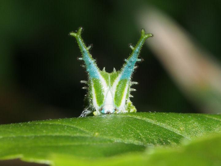 アカボシゴマダラ幼虫30mm顔-OMD03853