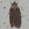 96-ヨモギヒラタマルハキバガ-OMD04049
