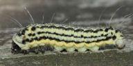 192-ミノウスバ幼虫13mm-OMD03886