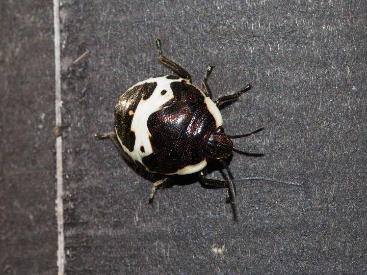 アカスジキンカメムシ幼虫-OMD03896