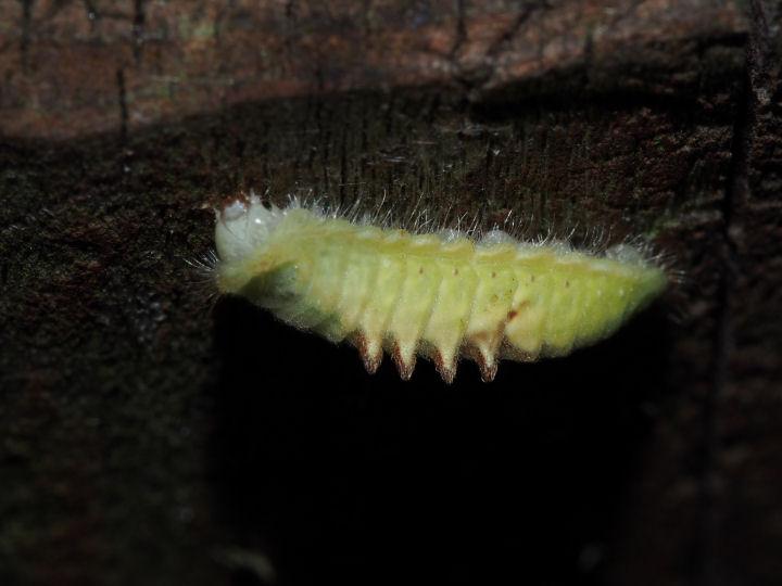 ウラナミアカシジミ幼虫11mm-OMD03931