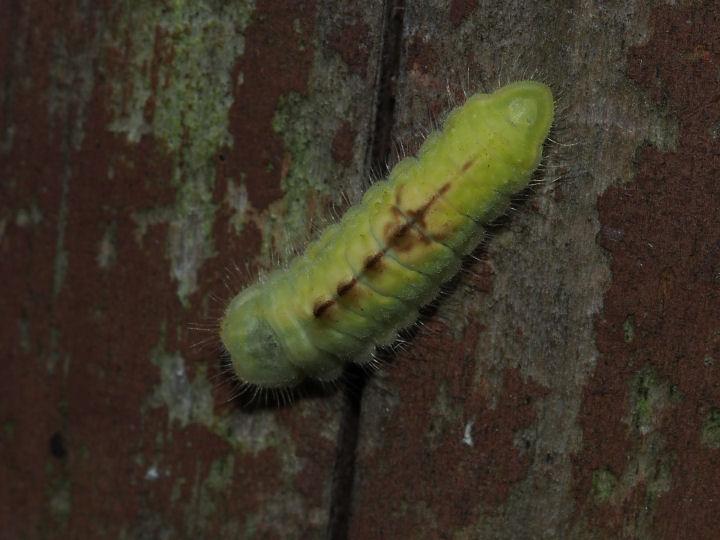 ウラナミアカシジミ幼虫11mm-OMD03936