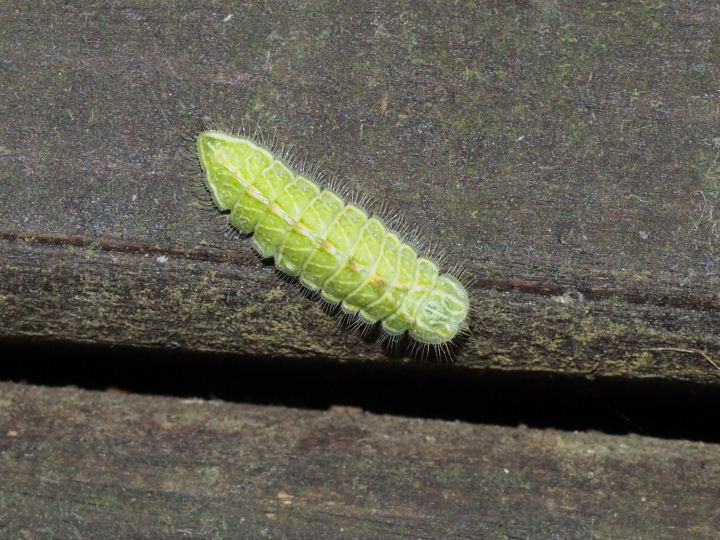 ミズイロオナガシジミ幼虫14mm-OMD03900