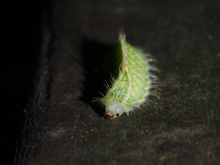 ミズイロオナガシジミ幼虫14mm-OMD03914
