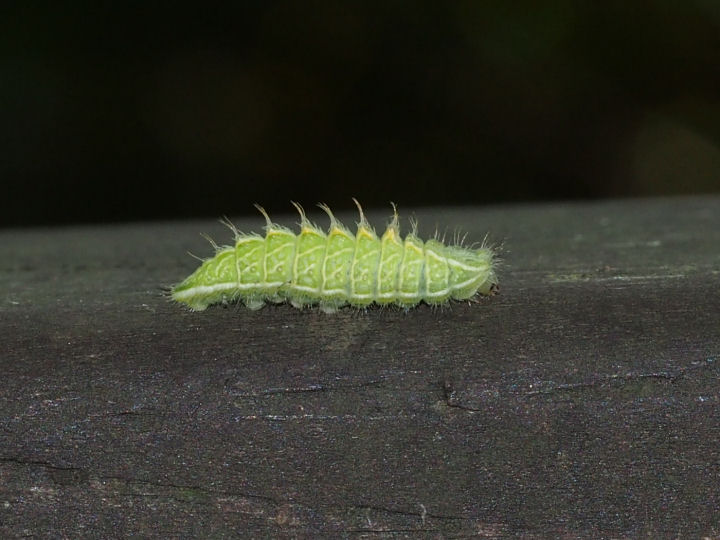 ミズイロオナガシジミ幼虫14mm-OMD03919
