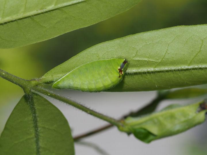 ウラゴマダラシジミ幼虫19mm-OMD04344