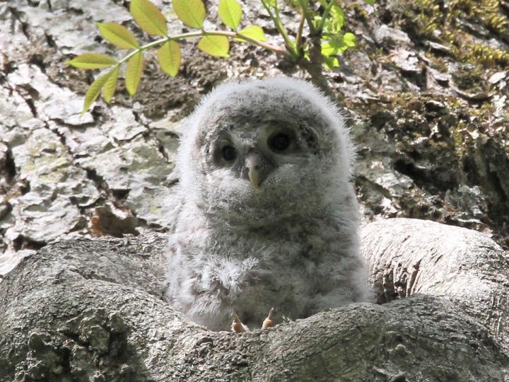 フクロウ幼鳥-IMG_5848