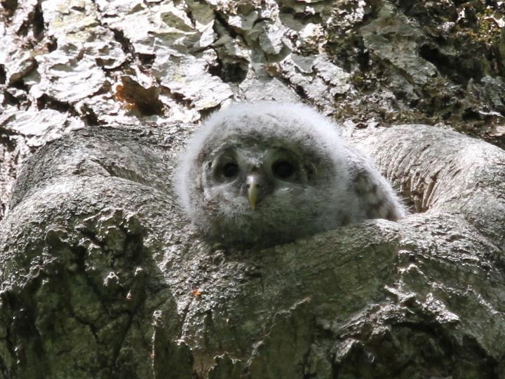フクロウ幼鳥-IMG_5918