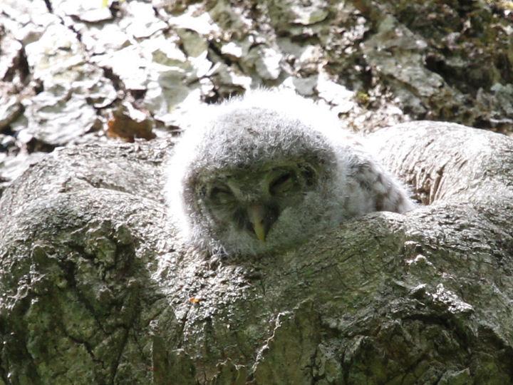 フクロウ幼鳥-IMG_5970