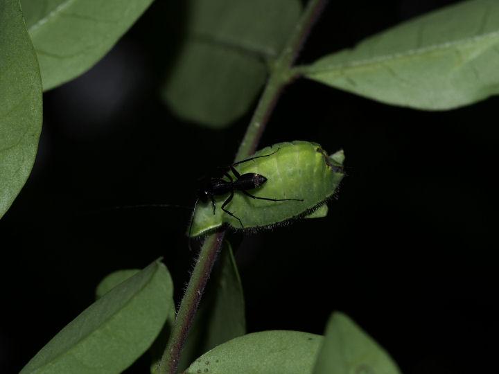 ウラゴマダラシジミ幼虫20mm-OMD05031