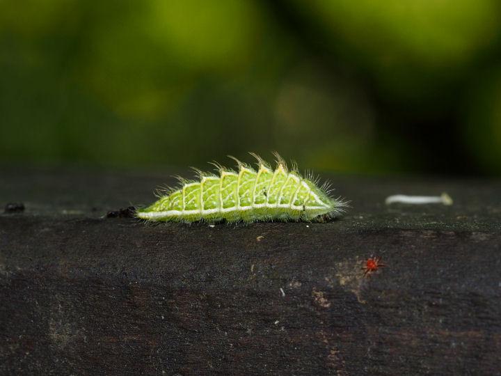 ミズイロオナガシジミ幼虫14mm-OMD05191