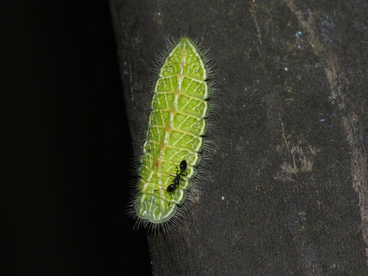 ミズイロオナガシジミ幼虫14mm-OMD05196