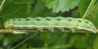 192-アヤモクメキリガ幼虫68mm-OMD04857
