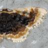 96-ウチムラサキヒメエダシャク-OMD06079