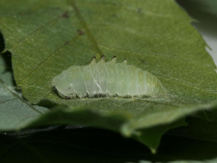 ウラナミアカシジミ前蛹-OMD05596