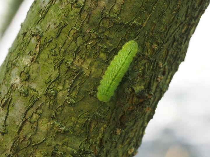 ミドリシジミ幼虫-OMD05700