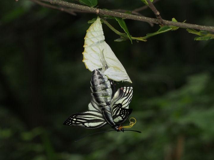 アカボシゴマダラ羽化-OMD06157