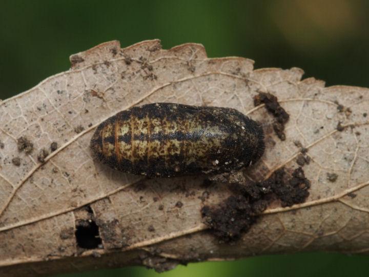 ミドリシジミ蛹-OMD06713