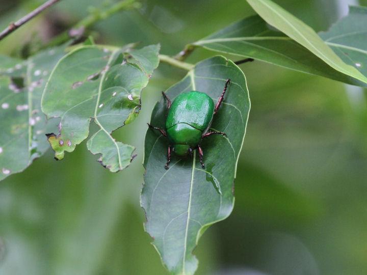 甲虫>未同定-2014-06-11-与那国島-IMG_9666