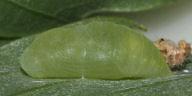 ウラナミアカシジミ蛹-OMD05413