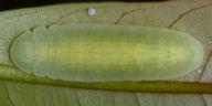 ムラサキツバメ幼虫12mm-OMD09180