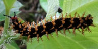 ヤエヤマムラサキ幼虫