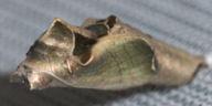 カバタテハ蛹