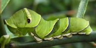 アゲハ幼虫25mm