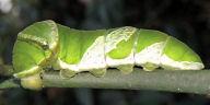 ナガサキアゲハ幼虫60mm