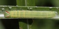 チャバネセセリ幼虫23mm