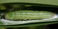 チャバネセセリ前蛹