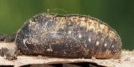 ミドリシジミ蛹