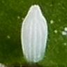 スジグロシロチョウ卵