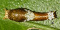 シロオビアゲハ幼虫8mm