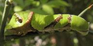 クロアゲハ幼虫40mm