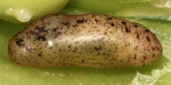 ウラナミシジミ蛹(側面)