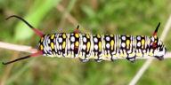 スジグロカバマダラ幼虫27mm