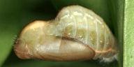 ウラゴマダラシジミ蛹-2014-05-18
