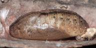 ムラサキツバメ蛹