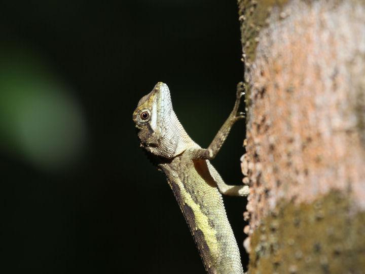 サキシマキノボリトカゲ-IMG_3518
