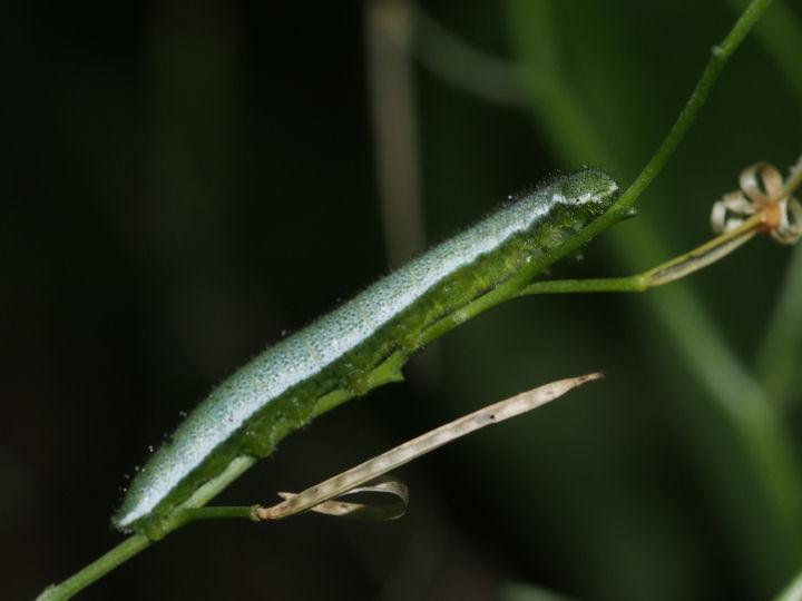 ツマキチョウ幼虫25mm-OMD07026