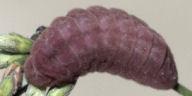 ルリシジミ幼虫11mm@ハギ