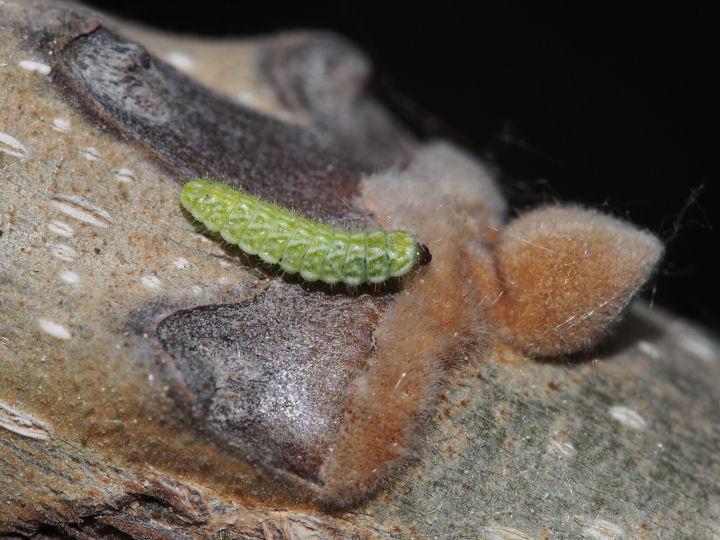 オナガシジミ幼虫-OMD07950