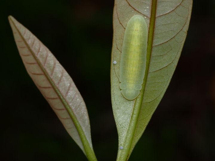 ムラサキツバメ幼虫12mm@マテバシイ-OMD09180