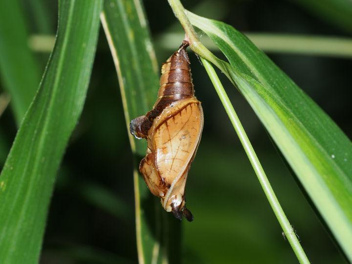 イチモンジチョウ蛹-OMD09430