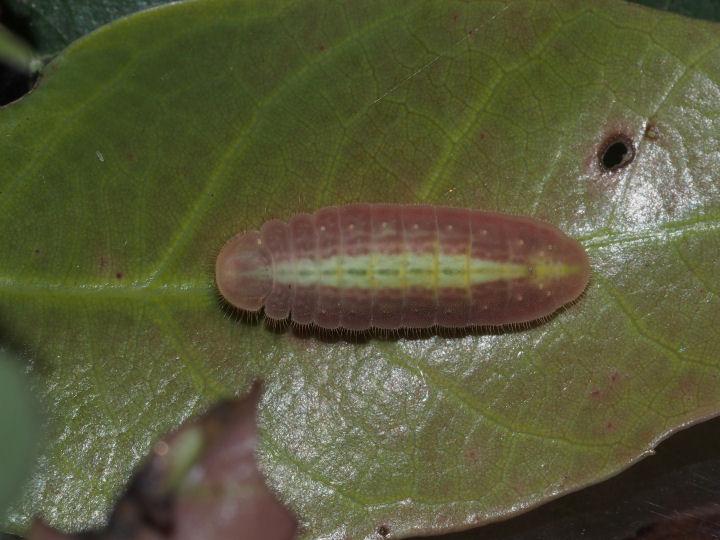 ムラサキシジミ幼虫17mm-OMD09447