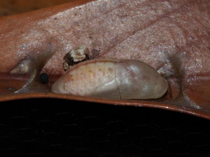 ムラサキシジミ蛹化-OMD09767
